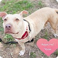 Adopt A Pet :: Rose - Seattle, WA