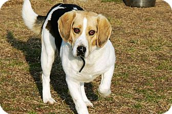 Beagle Dog for adoption in Ridgely, Maryland - Cranberry
