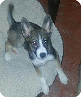 Husky Mix Puppy for adoption in Las Vegas, Nevada - Oz