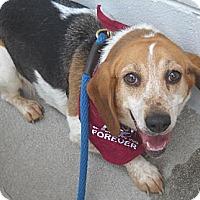 Adopt A Pet :: Evette - Ashland, VA