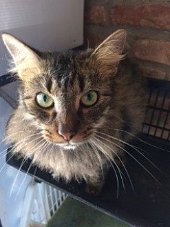 Domestic Longhair Cat for adoption in Thibodaux, Louisiana - Wolfey FE2-9236