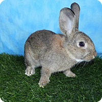 Other/Unknown for adoption in Pflugerville, Texas - Dust Bunny