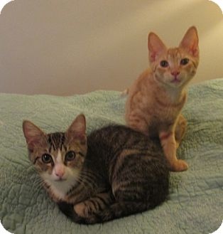 Domestic Shorthair Kitten for adoption in Bronx, New York - Frances