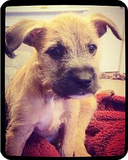 Schnauzer (Standard) Mix Puppy for adoption in Grand Bay, Alabama - Waylon