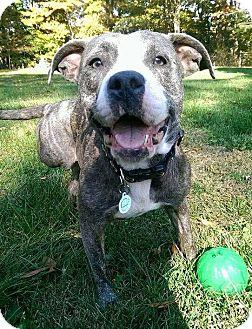 Pit Bull Terrier Mix Dog for adoption in Dayton, Ohio - Cotton