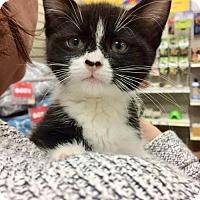 Adopt A Pet :: Gepetto - Hamilton, ON
