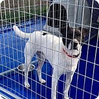 Pointer/English Pointer Mix Dog for adoption in New Kent, Virginia - Mark