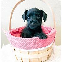 Adopt A Pet :: Tetley - Sacramento, CA