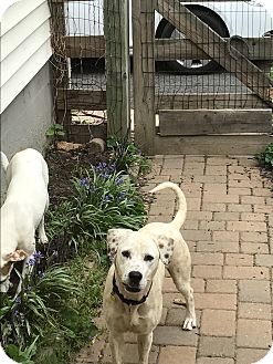 Dalmatian/Hound (Unknown Type) Mix Dog for adoption in Fairfield, New Jersey - Black Jack