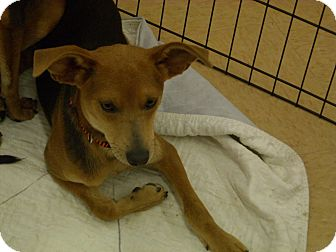 Greyhound/Terrier (Unknown Type, Small) Mix Dog for adoption in Windsor, Missouri - Ethan