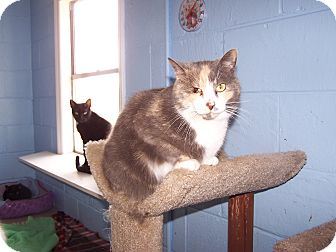 Calico Cat for adoption in Chester, Virginia - Izzy