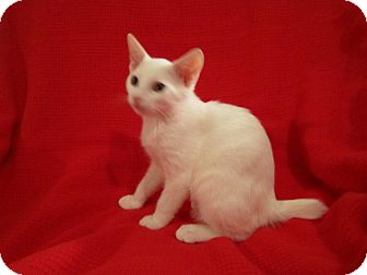 Manx Kitten for adoption in Richmond, Virginia - Drew