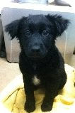 Border Collie Mix Puppy for adoption in Russellville, Kentucky - Charlee