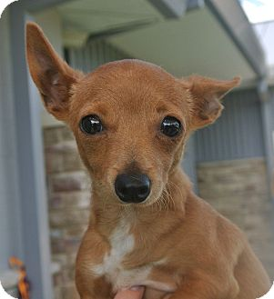 Chihuahua Mix Dog for adoption in white settlment, Texas - Buttercup