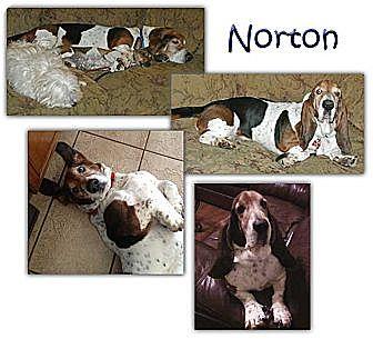 Basset Hound Dog for adoption in Marietta, Georgia - Norton