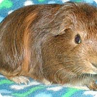 Adopt A Pet :: Badger - Steger, IL