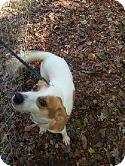 Terrier (Unknown Type, Small) Mix Dog for adoption in Richburg, South Carolina - Minion