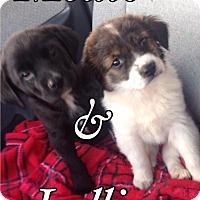Adopt A Pet :: Lollie - Byhalia, MS