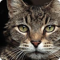 Domestic Shorthair Cat for adoption in St. Louis, Missouri - Ozzie OSbourne