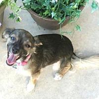 Adopt A Pet :: Izzy - Gilbert, AZ