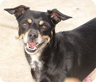 Manchester Terrier/Miniature Pinscher Mix Dog for adoption in Inland Empire, California - BUBBLES