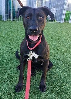 Labrador Retriever Mix Dog for adoption in Santa Monica, California - Dennis