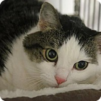 Domestic Mediumhair Cat for adoption in Asheville, North Carolina - Nitzi