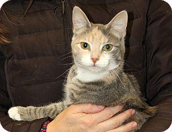 Domestic Shorthair Kitten for adoption in Harrison, New York - Muffin