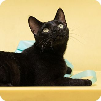 Domestic Shorthair Cat for adoption in Houston, Texas - Kennedy
