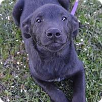 Adopt A Pet :: Simon - pending - Manchester, NH