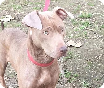 American Pit Bull Terrier/Weimaraner Mix Dog for adoption in Beacon, New York - Lady