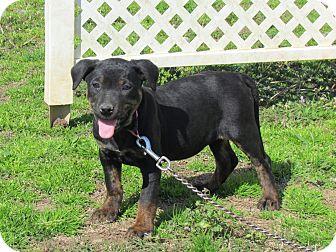 Labrador Retriever/Dachshund Mix Puppy for adoption in Hartford, Connecticut - IZZY