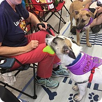 Adopt A Pet :: Miss Scruffles - Scottsdale, AZ