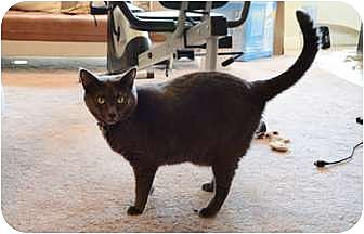 Domestic Shorthair Cat for adoption in West Los Angeles, California - Blue