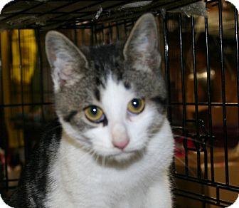 American Shorthair Cat for adoption in Allentown, Pennsylvania - Elfie