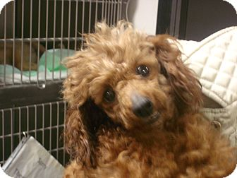 Toy Poodle Dog for adoption in Greencastle, North Carolina - Heidi