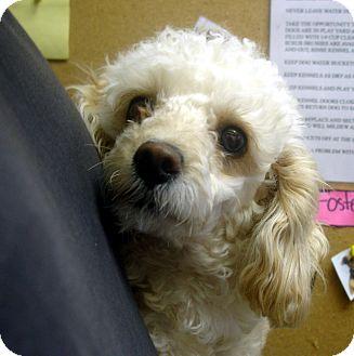 Toy Poodle Dog for adoption in Greencastle, North Carolina - Malibu