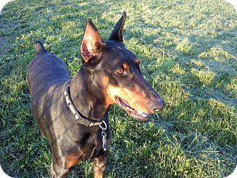 Doberman Pinscher Dog for adoption in New Richmond, Ohio - Caitlin - Pending!!