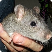 Adopt A Pet :: Agouti Berkshire Rex - Lakewood, WA