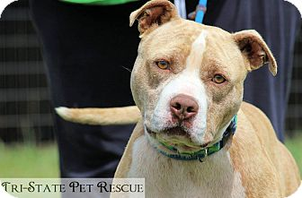 American Pit Bull Terrier Mix Dog for adoption in Blue Ridge, Georgia - Fletcher