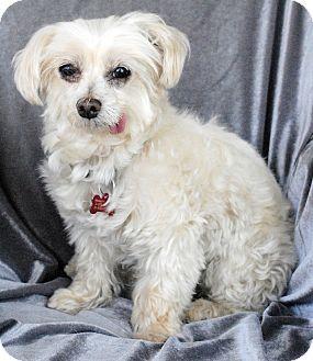 Maltese Dog for adoption in Encino, California - Angela Puppymill