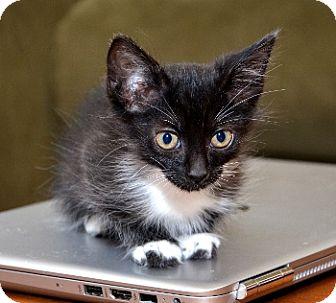 Siamese Kitten for adoption in Davis, California - Tesla