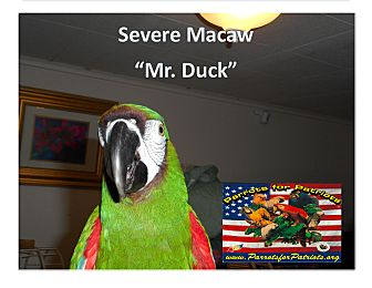 Macaw for adoption in Vancouver, Washington - Mini Macaw Mr. Duck