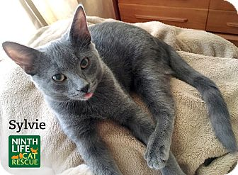 Domestic Shorthair Cat for adoption in Oakville, Ontario - Sylvie
