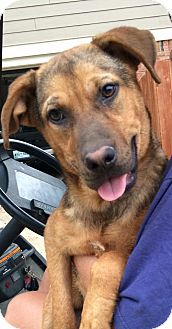 Shepherd (Unknown Type) Mix Dog for adoption in Greeneville, Tennessee - Tierney (Cat Friendly)