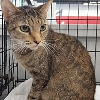 Adopt A Pet :: Princess S Kitty - Orange City, FL