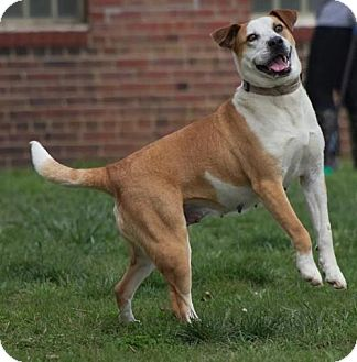 Shepherd (Unknown Type)/Hound (Unknown Type) Mix Dog for adoption in Doylestown, Pennsylvania - Sage