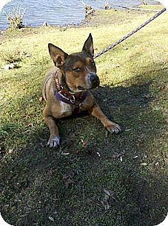 Australian Cattle Dog Mix Dog for adoption in Rock Hill, South Carolina - Gracie