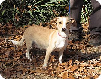 Chihuahua/Dachshund Mix Dog for adoption in Oakland, Arkansas - Fawn