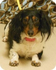 Dachshund Mix Dog for adoption in Gary, Indiana - Dino